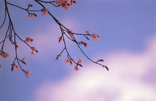 2016年の桜。(2のうち2)