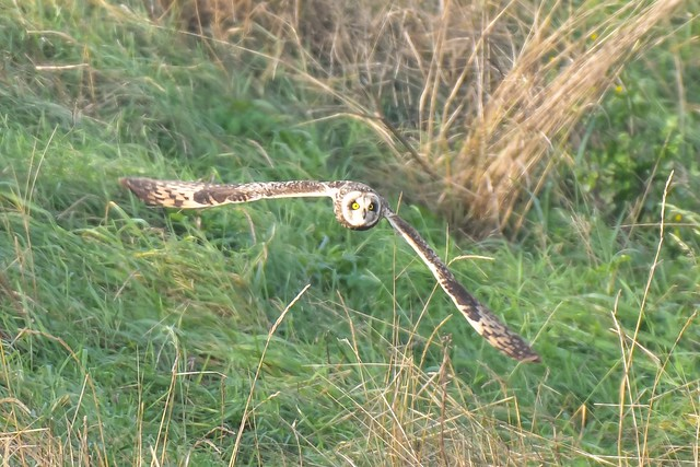 Short eared Owl at Reculver