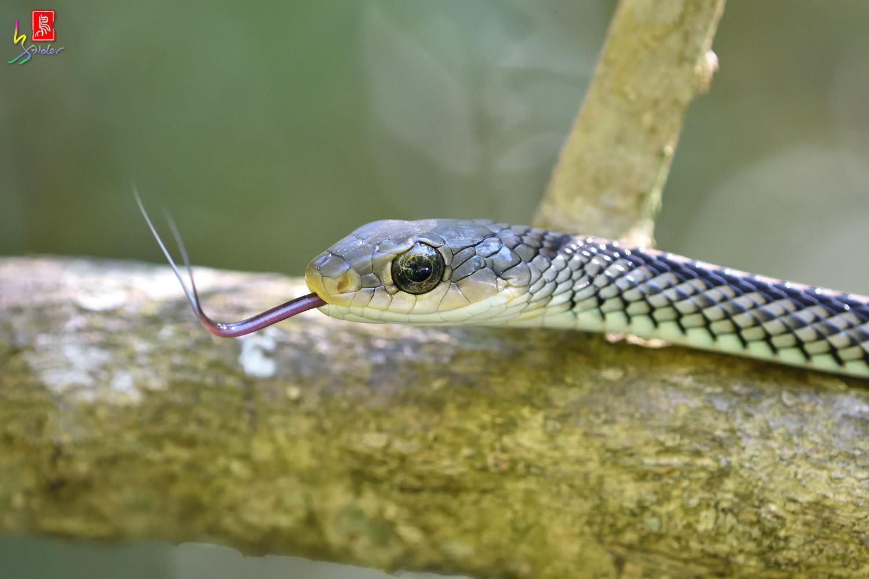 Snake_6315