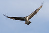 Osprey (Pandion haliaetus) with a fish by Ron Winkler nature