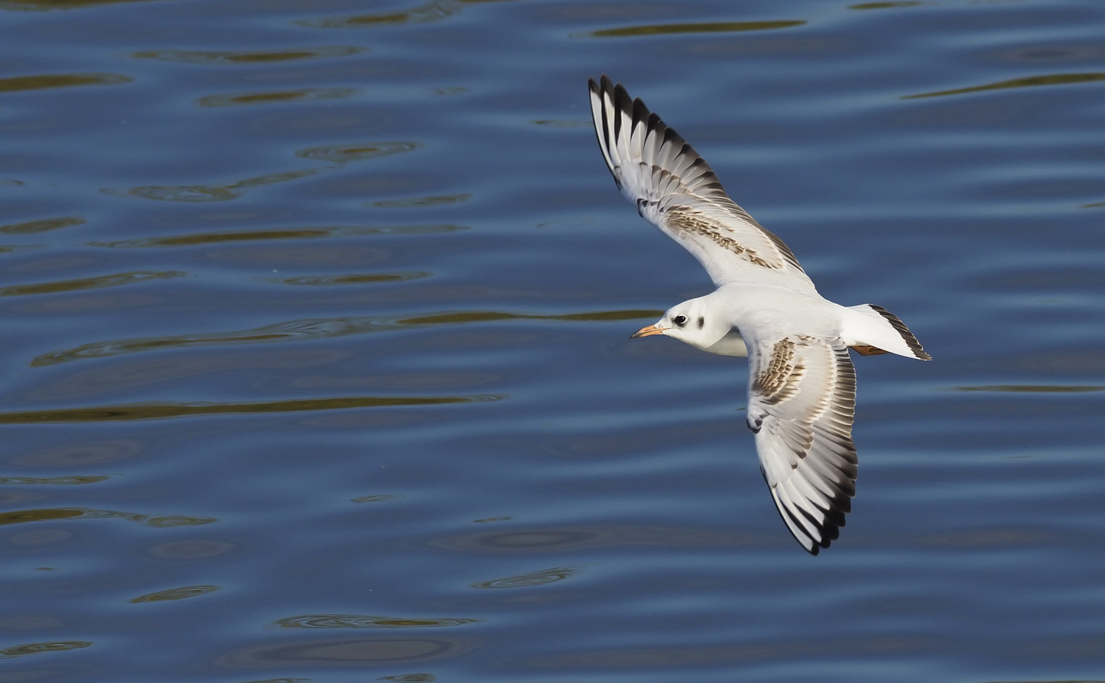 Black-headed Gull fun...
