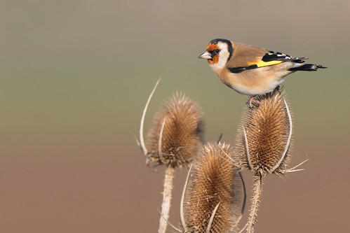 Goldfinch (Carduelis carduelis) | by Photography by Matt Latham