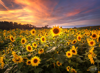 Sunflowers at Sunset   by Z!@