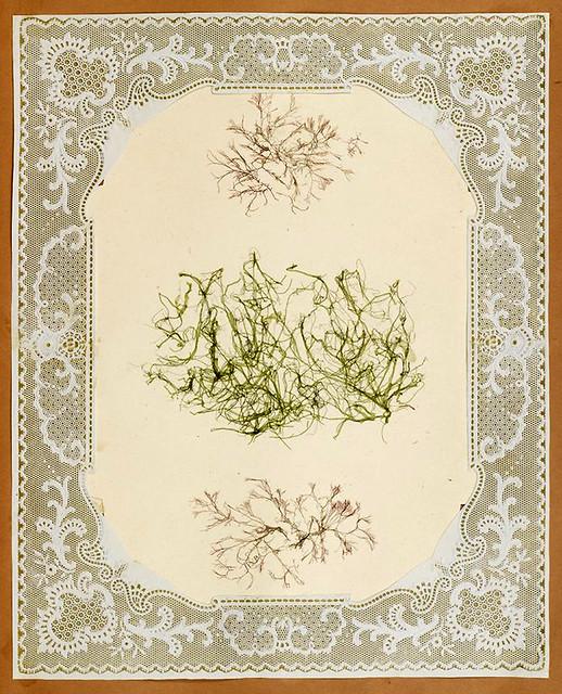 010-Album de algas marinas-1848- Brooklyn Museum Library