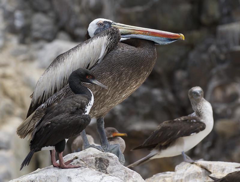 Peruvian Pelican (Pelecanus thagus) & Guanay Cormorant (Phalacrocorax bougainvillii) Ascanio_Peru 199A5420