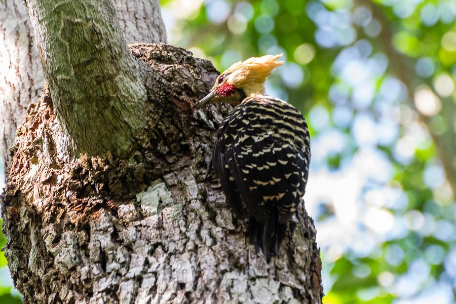 Blond-crested Woodpecker | Celeus flavescens | Pica-pau-de-cabeça-amarela