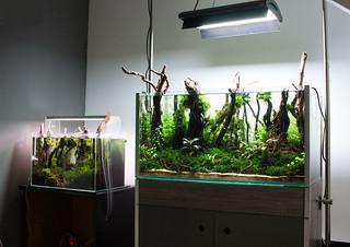 nigel aquascaping forest aquascape | by nigel_kh