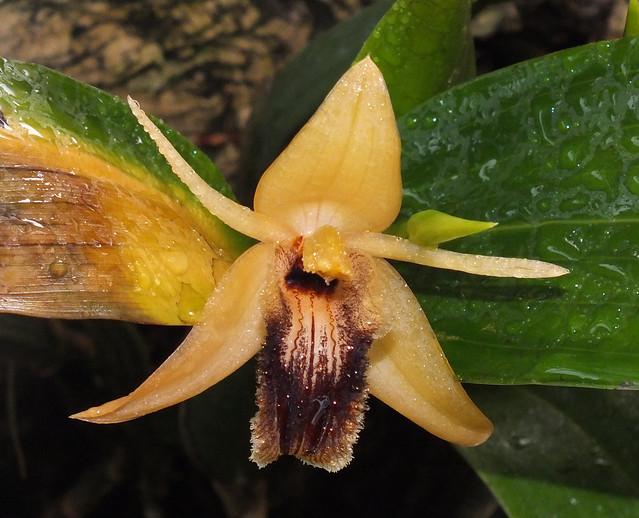 Oval orchid (Coelogyne ovalis) flower