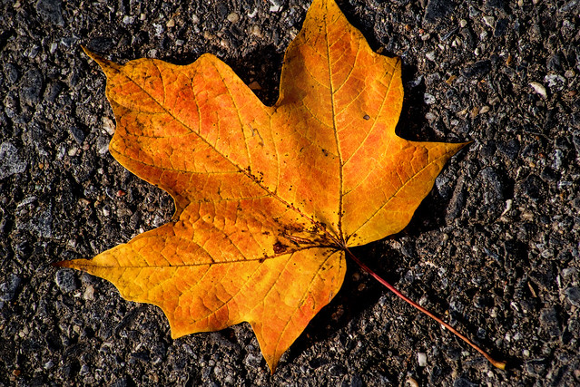Fallen Autumn Leaf 3-0 F LR 11-8-18 J114