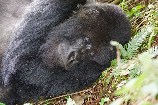 sleeping Silverback (Mountain Gorilla)