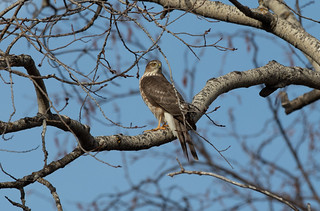 Sharp-shinned Hawk | by Laura Erickson