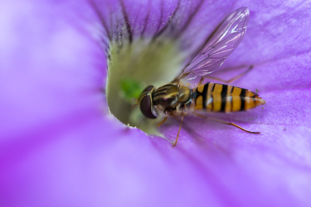Marmalade hoverfly(lat. Episyrphus balteatus).