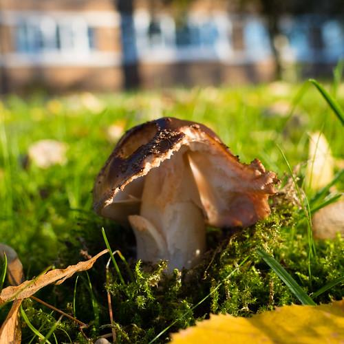 Autumn funghi: grey spotted amanita