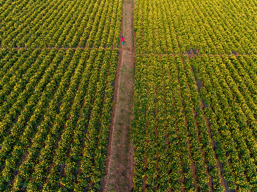 2018 bangalore digitalphotography india photography rubenalexander susanalexander thewandererseyephotography aerial aerialphotography aerialview cultivation fieldofgold geometry lines marigold marigoldfield shadows yellow