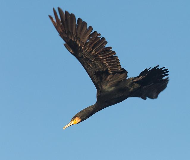 Cormorants are Go (Explored)