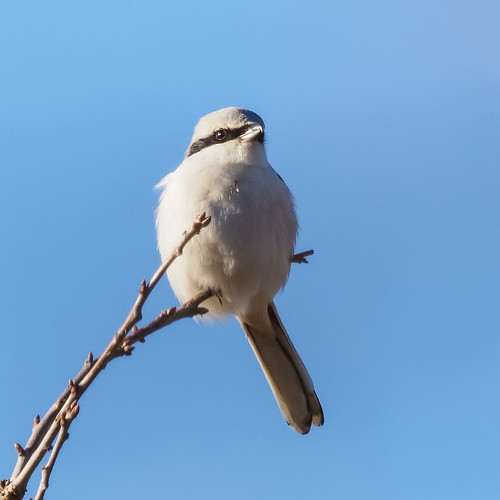 Great Grey Shrike | by Bengeo Photos