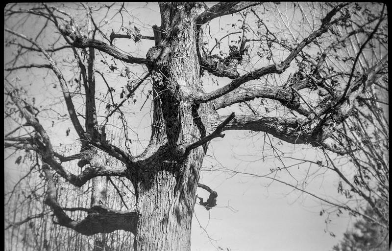 looking up, treetops, branches, Asheville, North Carolina, Kodak Brownie No. 2, Kodak TriX 400, Ilford Ilfosol 3 developer, 12.21.18