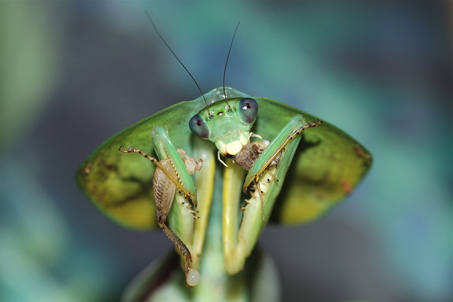 Female Peruvian Shield Praying Mantis - Choeradodis rhombicollis