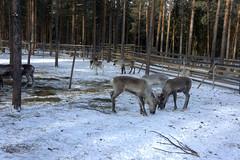 Safari de renos