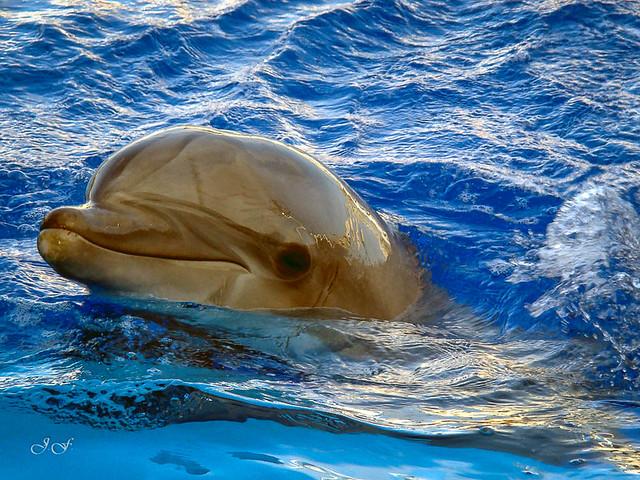 Tursiops truncatus (Delfin mular)