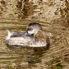 Pied-billed Grebe by ANiceCupofTea