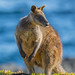Wallaby By The Sea by tourtrophy