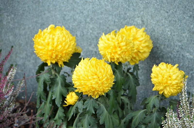 Chrysanthemum 20.11.2018