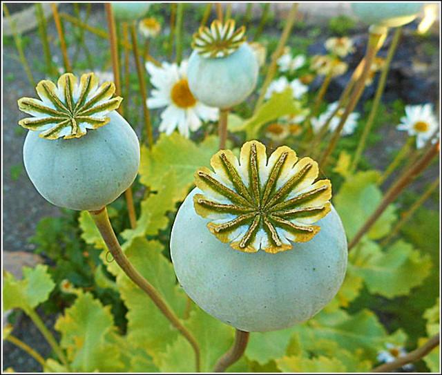 Poppy Seedheads ...