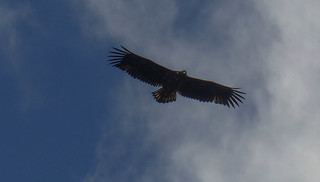 Juvenile sea eagle watching us   by scotlandmac