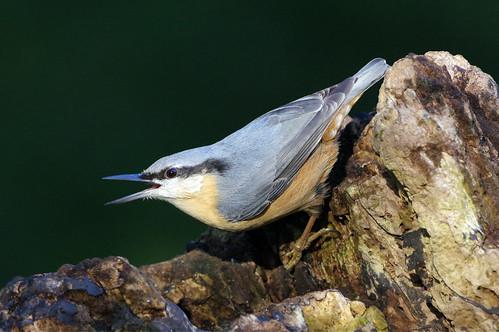 lackfordlakes nature wild wildlife bird suffolk nuthatch sittaeuropaea woodland