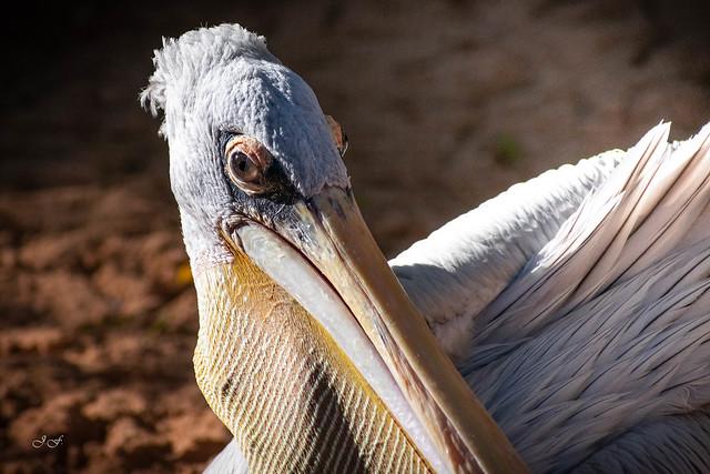 Pelecanus rufescens (Pelicano rosado)