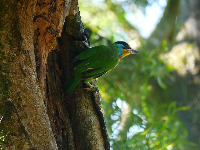 台灣擬啄木(五色鳥》Taiwan Barbet