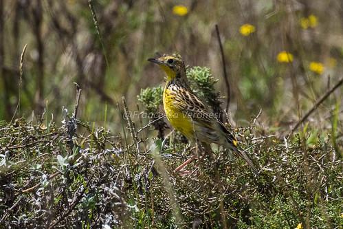 123wagtailspipits birds riftvalley kenya africa sharpespipit