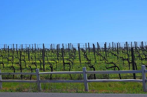 Wintering vines Carneros | by rbunzel