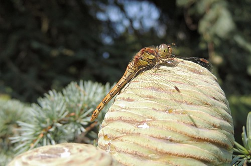 cone pine darter common dragonfly tyntesfield insect wings body head eyes nature naturephotography red brown