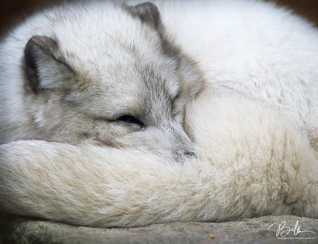 Polarfuchs/Polar Fox