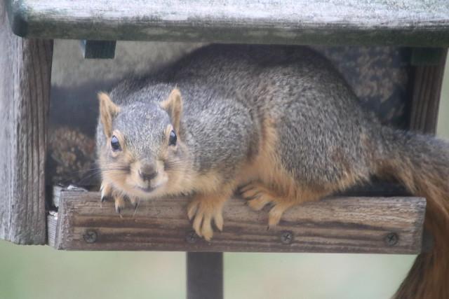 187/365/3839 (December 15, 2018) - Fox Squirrel at the Birdfeeders (Saline, Michigan) - Saturday December 15th, 2018