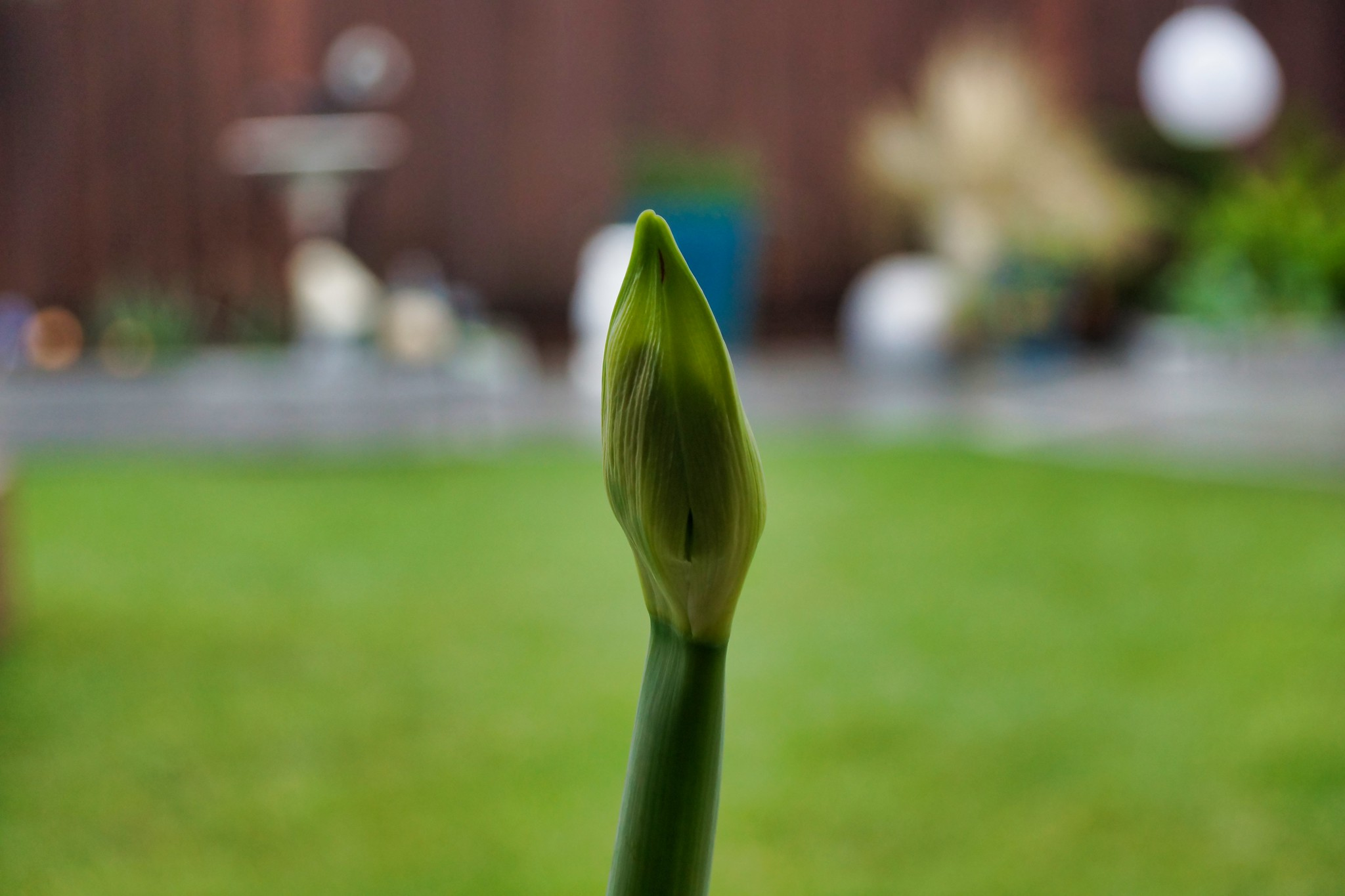 2019-02-04 - Nature Photography - Flowers - Amaryllis
