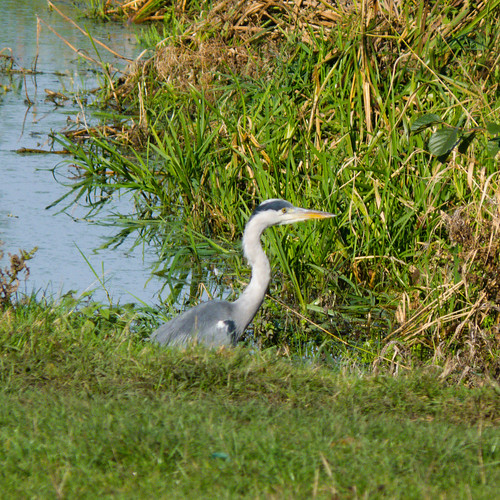 Wary heron, Doxey Marshes