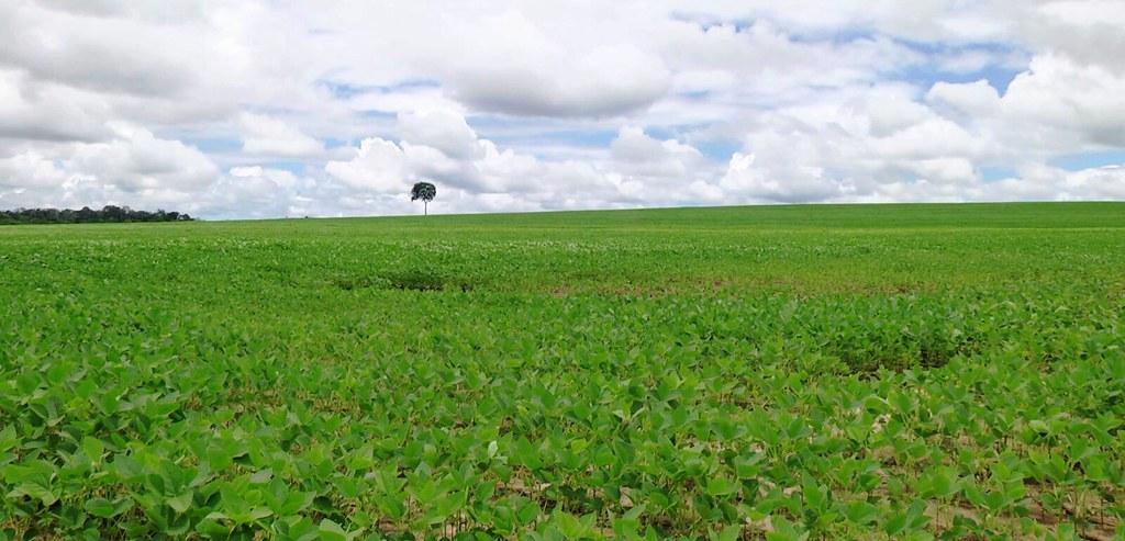 Safra de grãos do Pará em marco cai 6%; houve redução também na área plantada, Soja na RM de Santarém