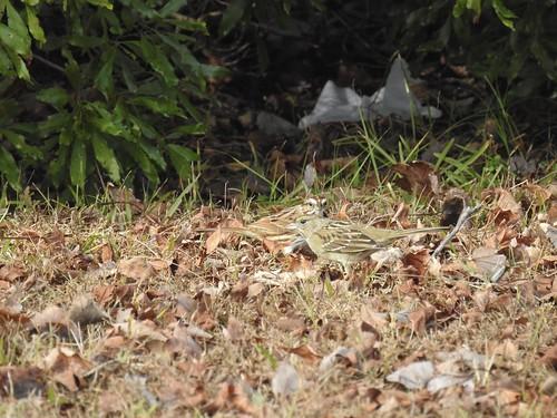 goldencrownedsparrow sparrow harbinger northcarolina currituckcounty birdwatching bird birding birder blue birds rarity rare wildlife nature outdoor outdoors outside animal creature