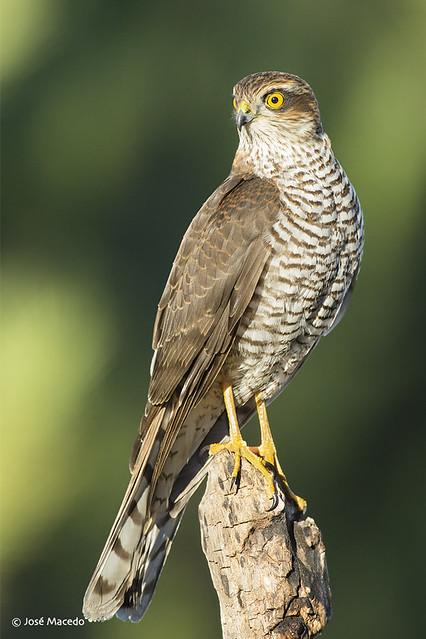 Gavião-da-europa; Sparrowhawk (Accipiter nisus)