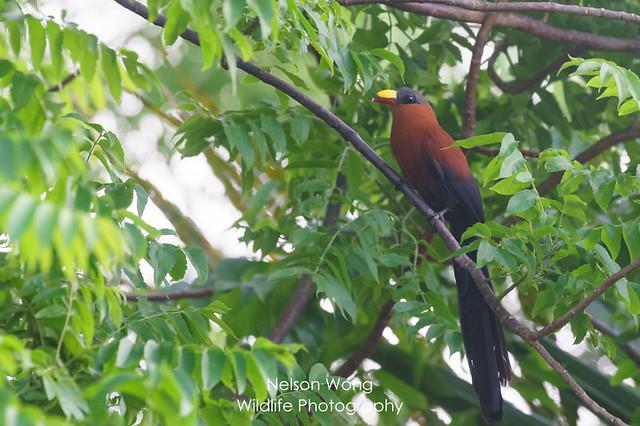 Sulawesi Malkoha (Phaenicophaeus calyorhynchus) 蘇拉黃嘴地鵑