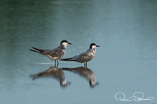 Whiskered terns | by TARIQ HAMEED SULEMANI