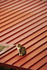 Cat on a Tin Roof by andrickthistlebottom