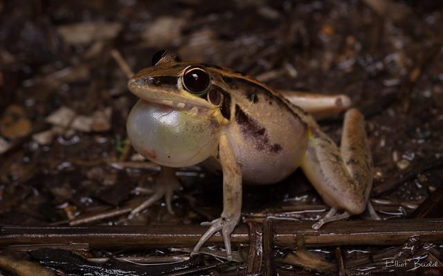 Striped Rocket Frog (Litoria nasuta)