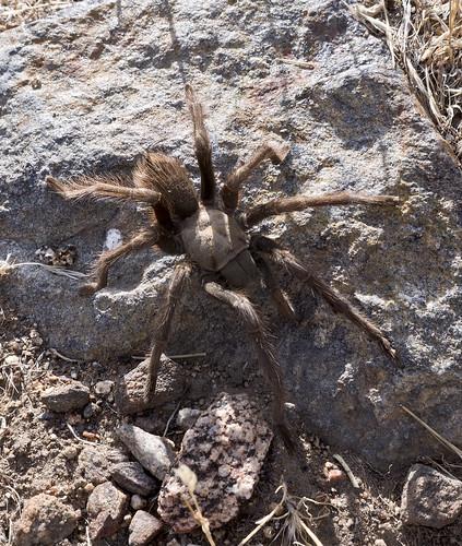 Tarantula   by tomteske