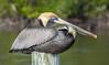 Brown Pelican - Pelecanus occidentalis (Pelecanidae) 115o-2241369 by Perk's images