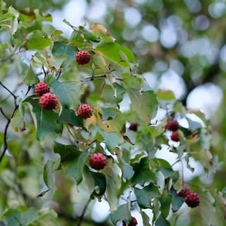 Erdbeerbaum ( Arbutus)