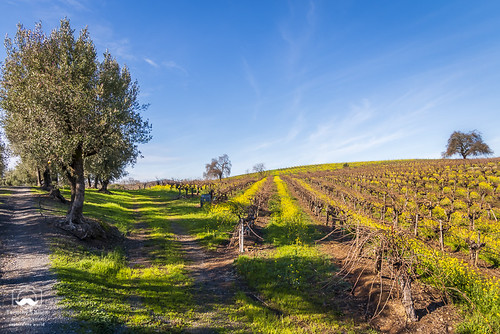 califonia hwy12 landscape otherkeywords rbcohnwinery sonomacounty argriculture clouds drink earlyspring food grass green hdr hills mountains oak olivetrees pano sky trees vines vineyard vineyards white wispy